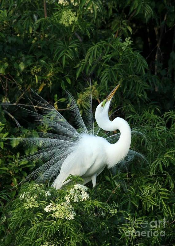 Great White Egret Poster featuring the photograph Showy Great White Egret by Sabrina L Ryan