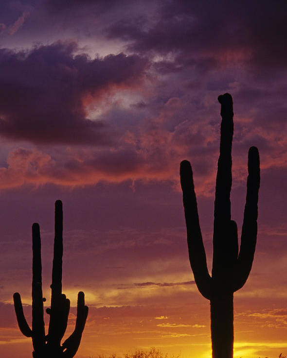 American Southwest Poster featuring the photograph Silhouetted Saguaro Cactus Sunset by Jim Corwin