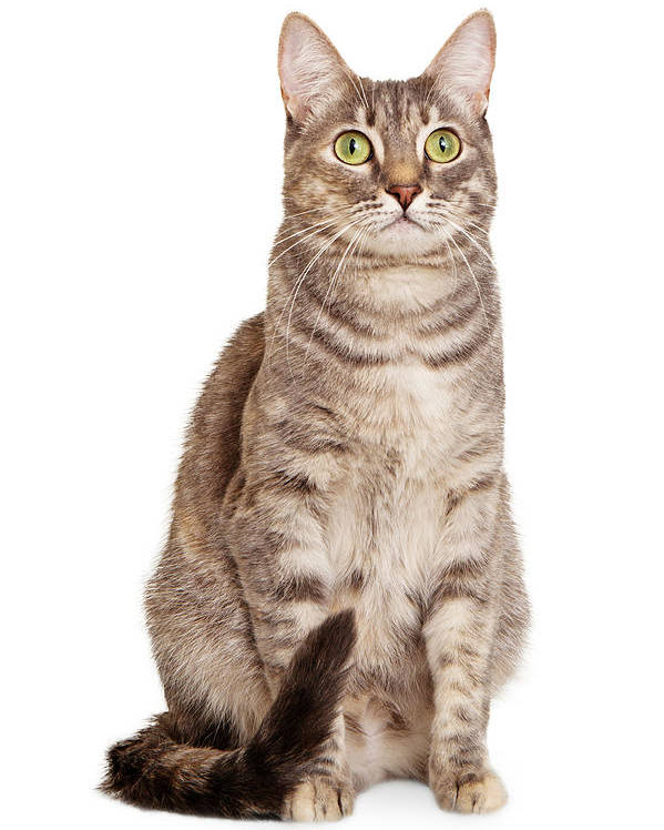 Cat Poster featuring the photograph Sitting Gray Tabby Cat by Susan Schmitz