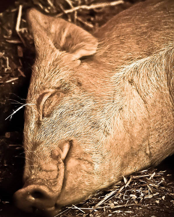 Poster featuring the photograph Sleeping And Smiling Pig by Sarah Cafaro