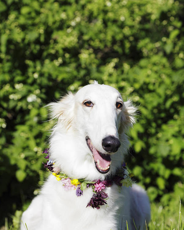 Borzoi Poster featuring the photograph Smiling Borzoi Dog by Christian Lagereek