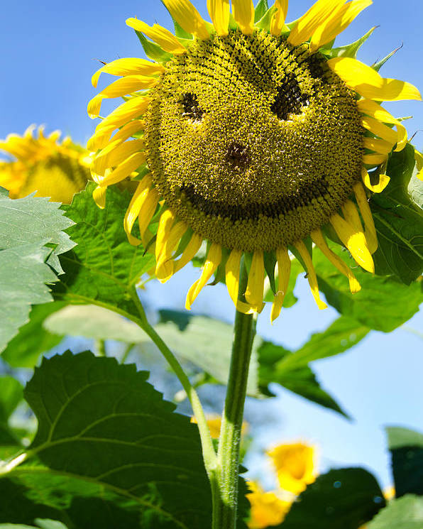 Sunflower Poster featuring the photograph Smiling Sunflower by Donna Doherty