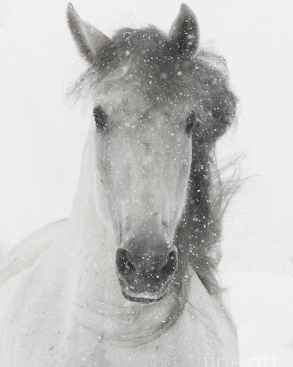 Andalusian Poster featuring the photograph Snowy Mare by Carol Walker
