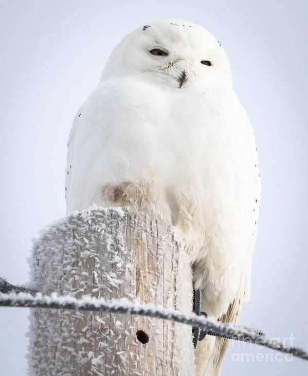 Canon Poster featuring the photograph Snowy Owl by Ricky L Jones