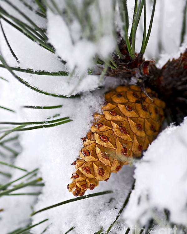 Winter Poster featuring the photograph Snowy Pine Cone by Elena Elisseeva