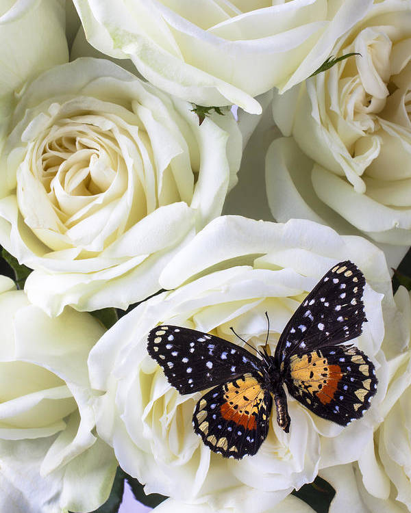 Speckled Butterfly Poster featuring the photograph Speckled Butterfly On White Rose by Garry Gay