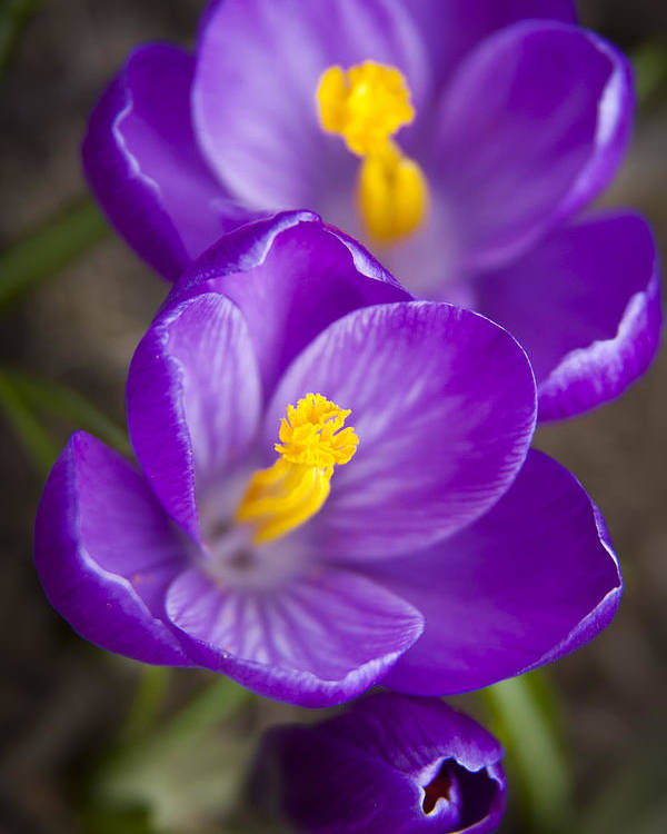 3scape Photos Poster featuring the photograph Spring Crocus by Adam Romanowicz
