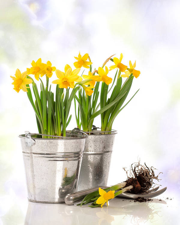 Spring Poster featuring the photograph Spring Daffodils by Amanda Elwell