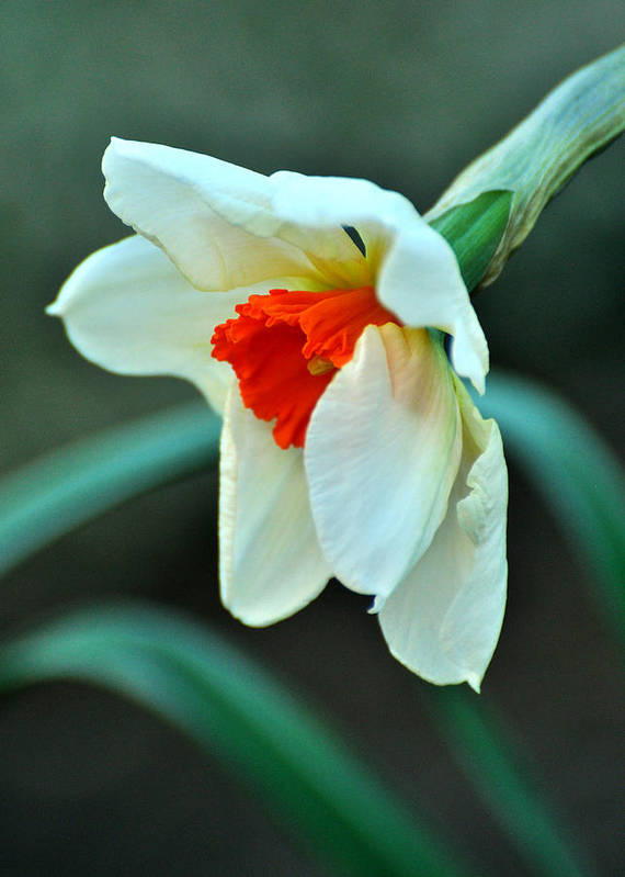 Daffodil Poster featuring the photograph Spring Prayer by Rebecca Sherman