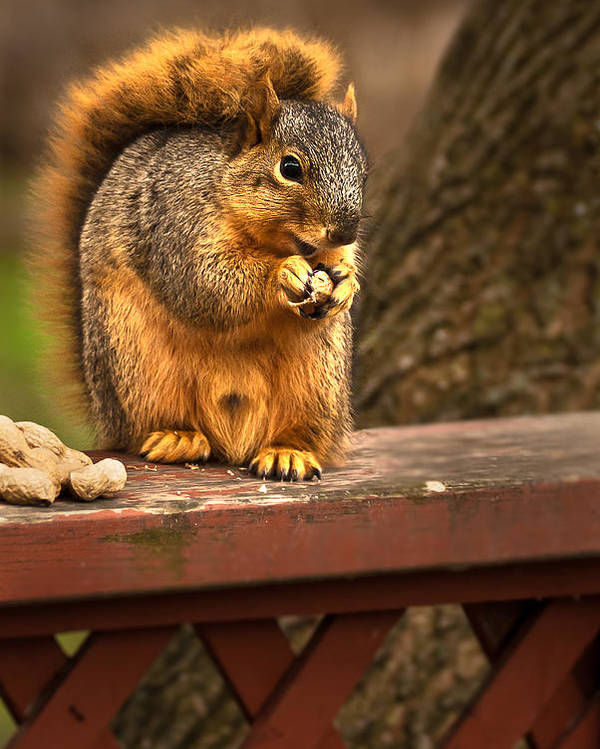 Eastern Fox Squirrel Poster featuring the photograph Squirrel Eating A Peanut by Onyonet Photo Studios