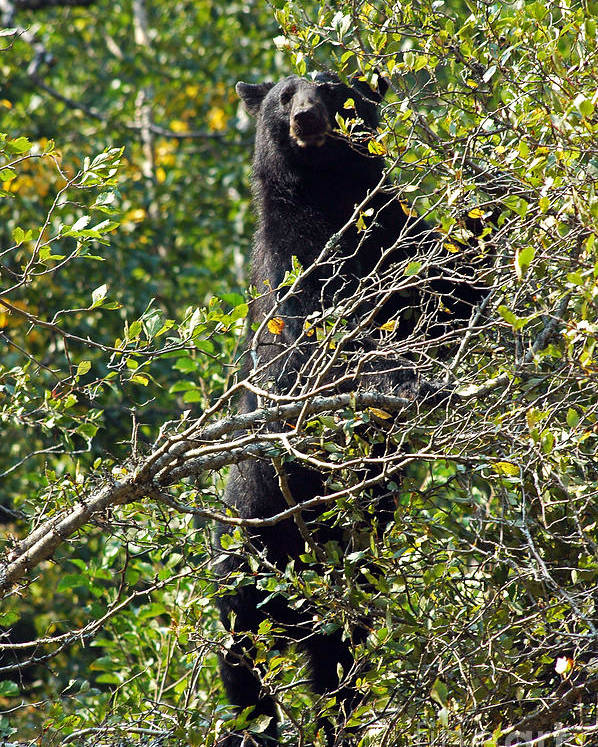 Bear Poster featuring the photograph Standing Black Bear by Cindy Murphy - NightVisions
