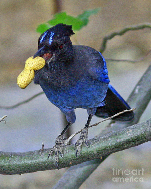 Stellar's Jay Poster featuring the photograph Stellar's Jay With Peanut by Kenny Bosak