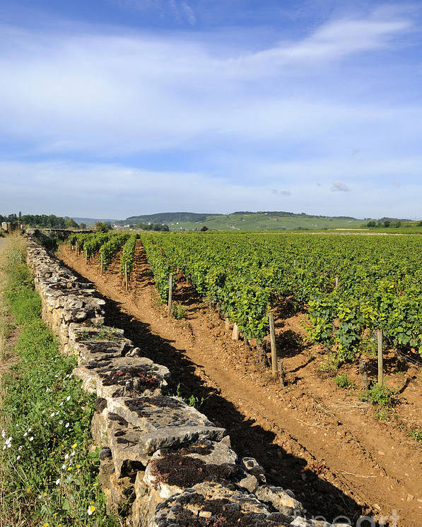 Agricultural  Poster featuring the photograph Stone Wall. Vineyard. Cote De Beaune. Burgundy. France. Europe by Bernard Jaubert