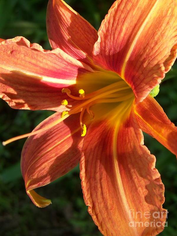 Daylily Poster featuring the photograph Sun Kissed Daylily by Christine Dowling Kelsey