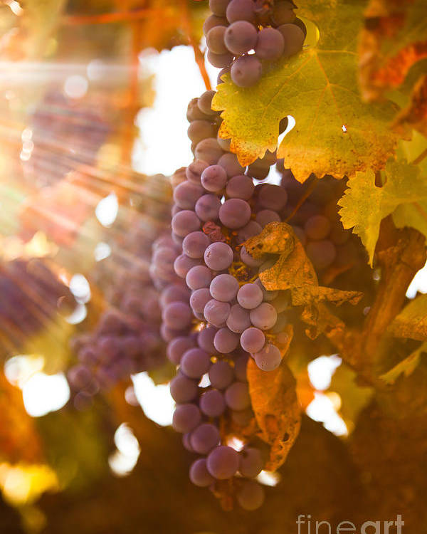 Grapes Poster featuring the photograph Sun Ripened Grapes by Diane Diederich