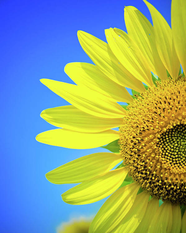 Clear Sky Poster featuring the photograph Sunflower Against Blue Sky by N. Umnajwannaphan