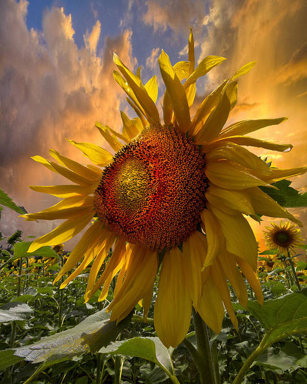 Appalachia Poster featuring the photograph Sunflower Dawn by Debra and Dave Vanderlaan