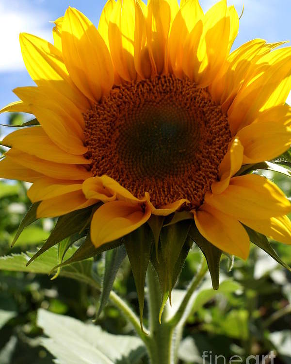 Agriculture Poster featuring the photograph Sunflower Highlight by Kerri Mortenson