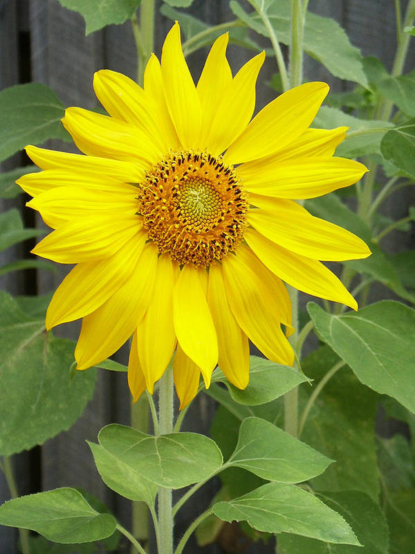 Helianthus Annuus Poster featuring the photograph Sunflower by Lisa Phillips