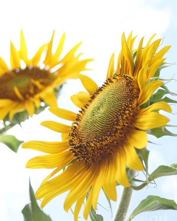 Agriculture Poster featuring the photograph Sunflower Perspective by Kerri Mortenson