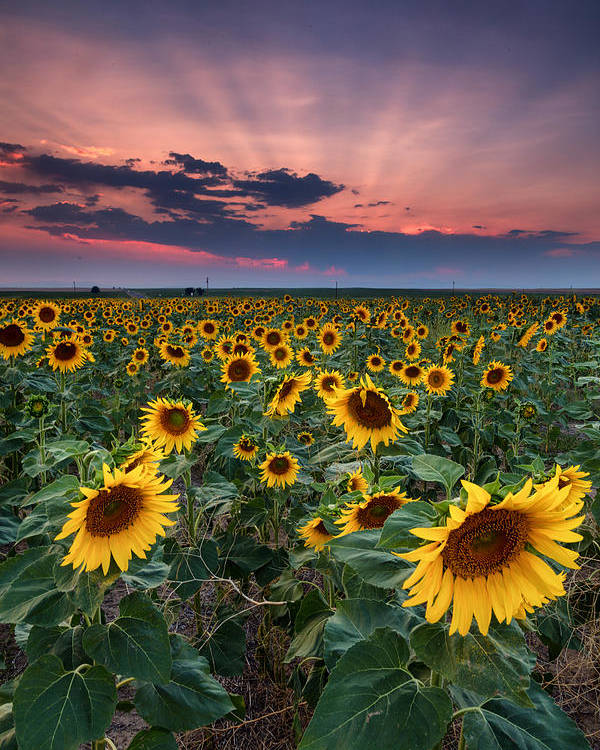 Dia Poster featuring the photograph Sunflower Sunset by Ryan Wright
