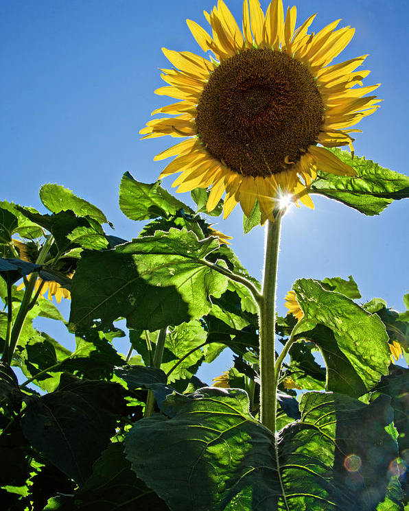 Sunflower Poster featuring the photograph Sunflower With Sun by Donna Doherty