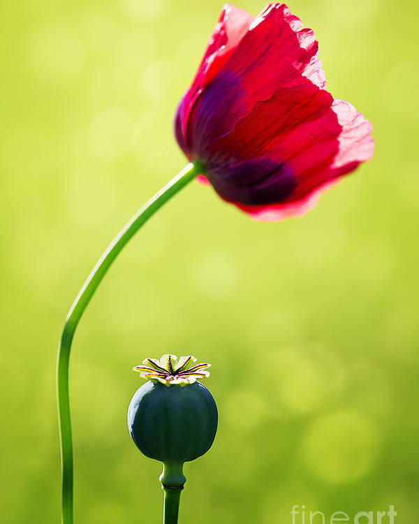 Poppy Poster featuring the photograph Sunlit Poppy by Natalie Kinnear