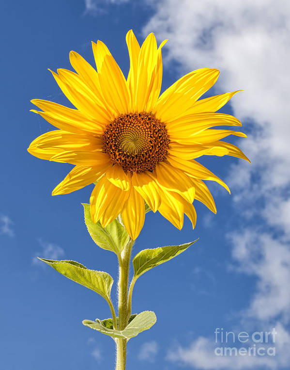 Flower Poster featuring the photograph Sunny Sunflower by Joshua Clark