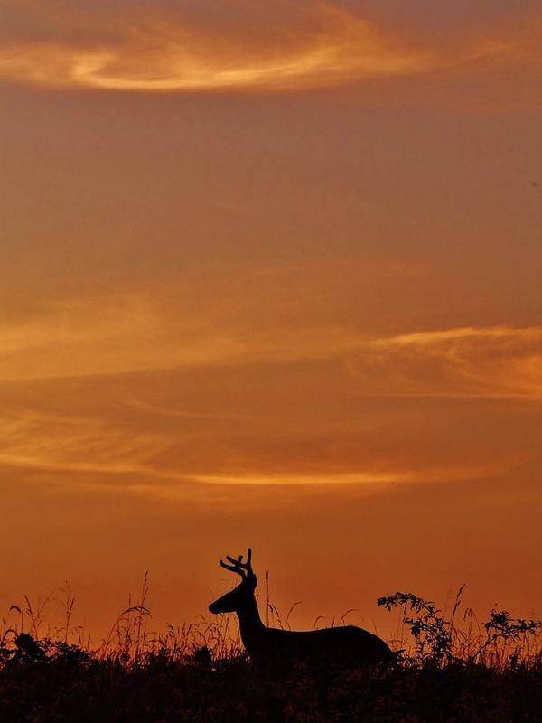Deer Poster featuring the photograph Sunset Silhouette by Greg Kear