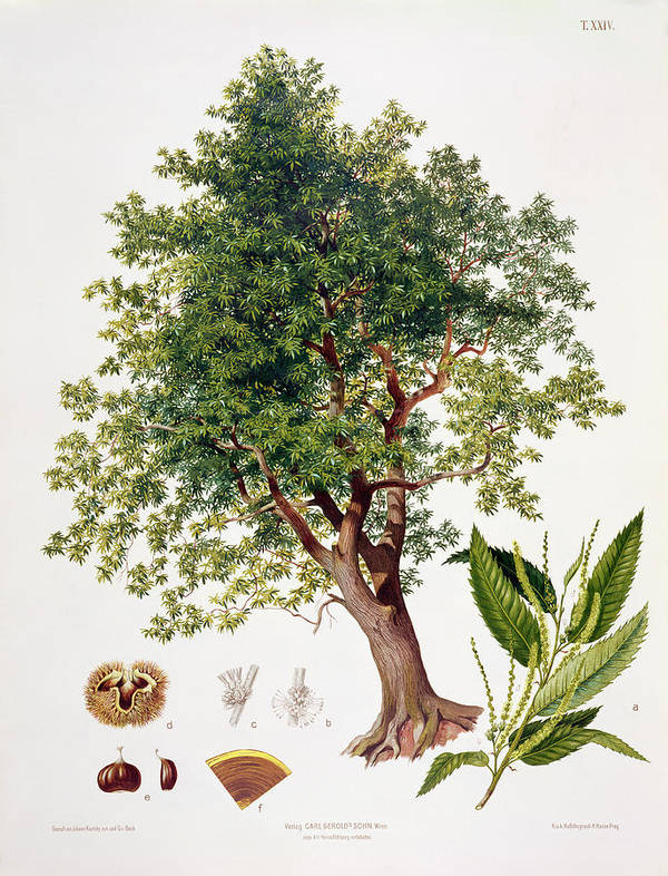 Tree; Leaf; Leaves; Nut; Nuts; Burr; Fagaceae; Spanish; Catkins; Catkin; Castanea; Austrian Publication; Vienna; Deciduous; Chataignier; Chataigne Poster featuring the drawing Sweet Chestnut by Johann Kautsky
