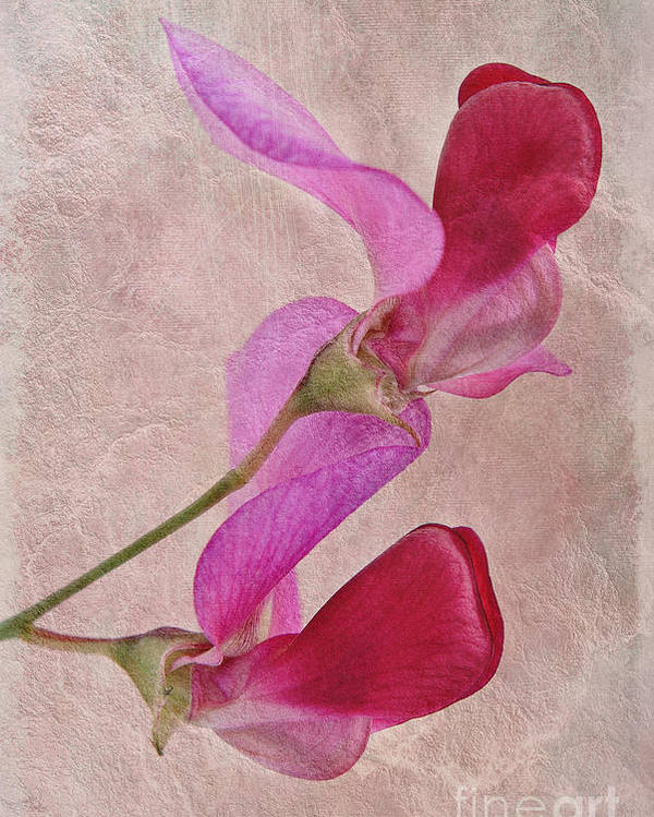 Sweet Pea Poster featuring the photograph Sweet Textures 2 by John Edwards