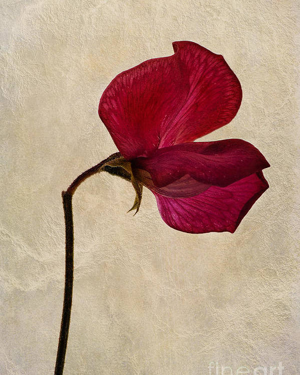 Sweet Pea Poster featuring the photograph Sweet Textures by John Edwards