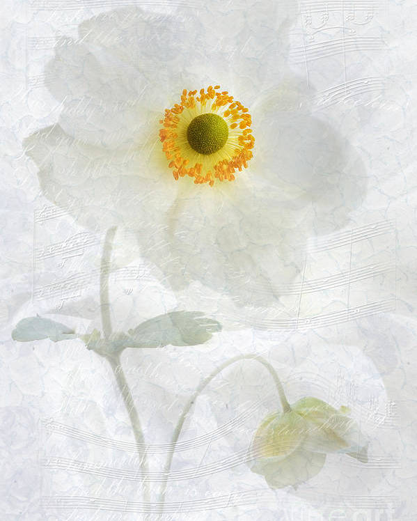 Anemone Hupehensis Poster featuring the photograph Symphony by John Edwards