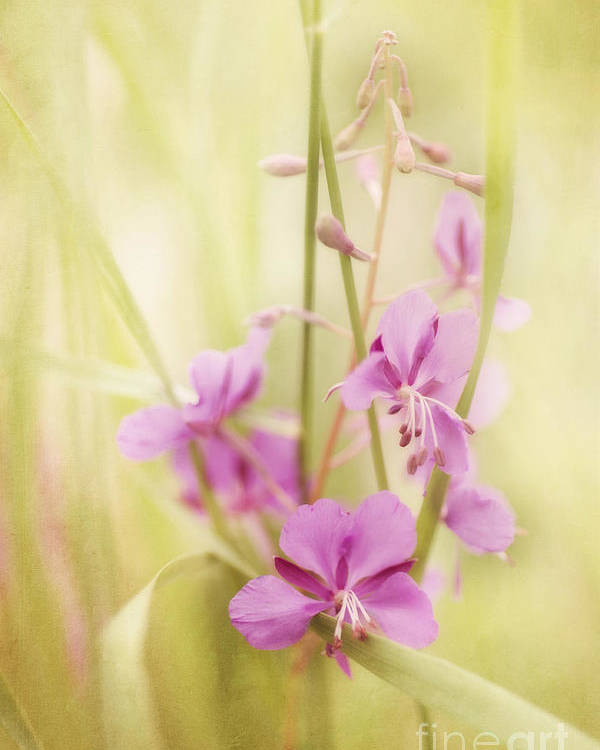 Fireweed Poster featuring the photograph Tendresse by Priska Wettstein