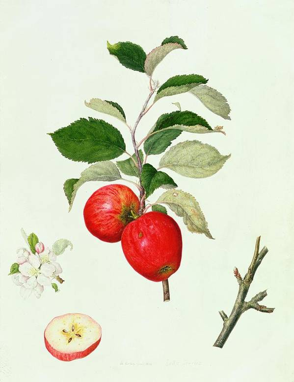 Apples; Apple Blossom; Branch; Leaves; Fruit; Cross-section; Botanical Illustration Poster featuring the painting The Belle Scarlet Apple by Barbara Cotton