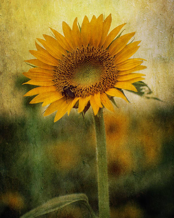 Sunflower Poster featuring the photograph The Collector by Keith Gondron