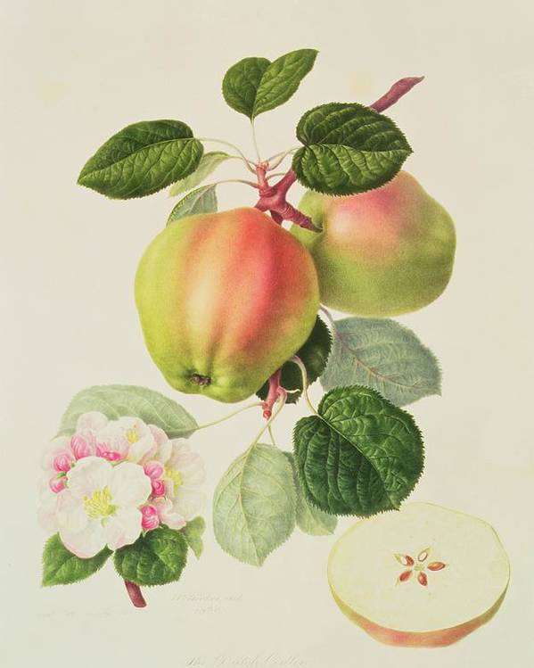 Apple Blossom; Fruit; Apples; Cross-section; Leaves; Branch; Botanical Illustration Poster featuring the painting The Dutch Codlin by William Hooker