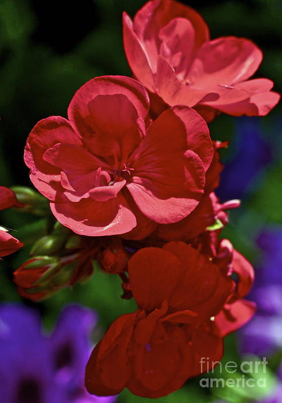 Geranium Poster featuring the photograph The Geraniums by Gwyn Newcombe