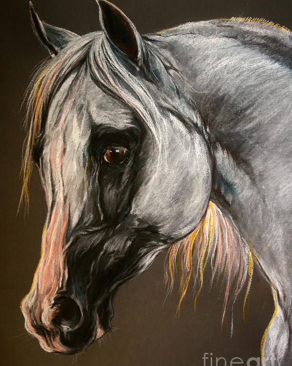 Horse Poster featuring the drawing The Grey Arabian Horse by Angel Ciesniarska