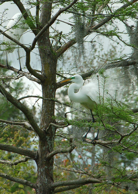 Egret Poster featuring the photograph The Mating Dance by Suzanne Gaff
