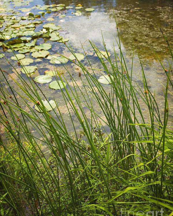 Water; Nature; Grasses; Lily; Lily Pond; Pads; Lily Pond; Green; Flowers; Reflection; Sky; Beautiful; Pretty; Natural; Side Poster featuring the photograph The Side Of The Lily Pond by Margie Hurwich
