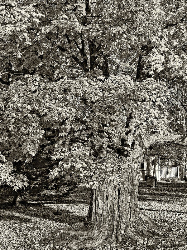 Maples Poster featuring the photograph The Swinging Tree Sepia by Steve Harrington