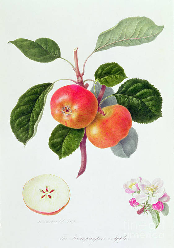 Apple Blossom; Fruit; Apples; Leaves; Branch; Cross-section; Botanical Illustration Poster featuring the painting The Trumpington Apple by William Hooker
