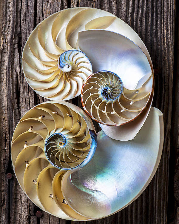 Three Chambered Nautilus Poster featuring the photograph Three Chambered Nautilus by Garry Gay