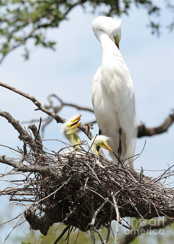 Egret Poster featuring the photograph Three Great Egret Chicks In Nest by Carol Groenen