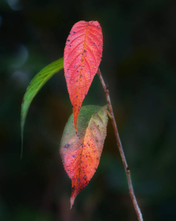Leaves Poster featuring the photograph Three Leaves Of Fall by Brenda Bryant