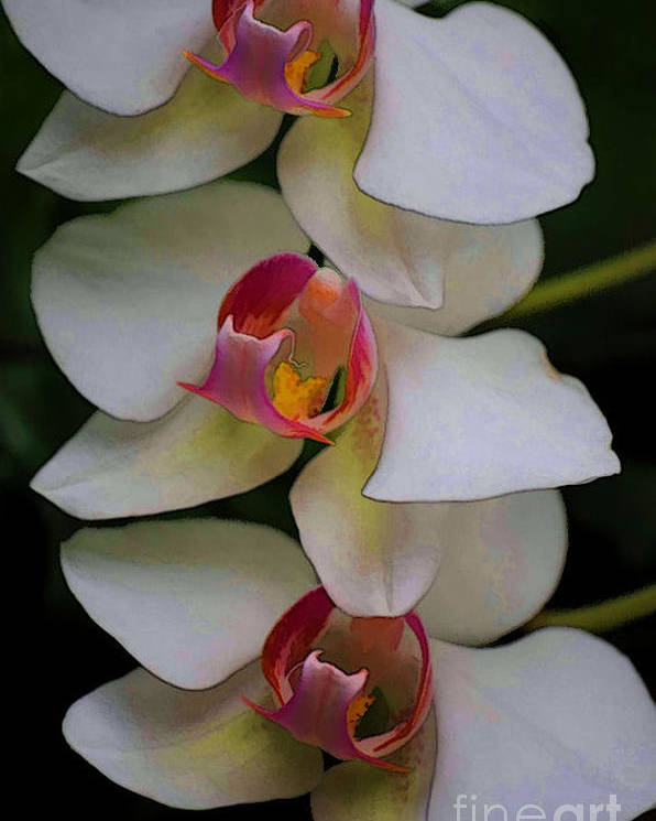 Orchid Poster featuring the photograph Three Orchids by Theresa A Diehl