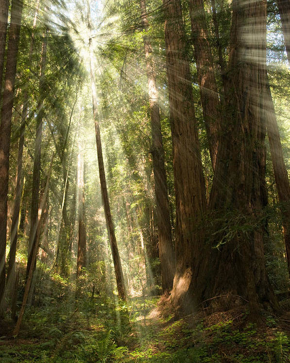 Muir Woods Poster featuring the photograph Through The Trees by Mick Burkey