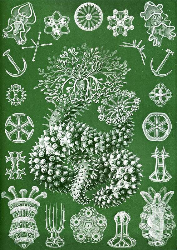 Echinoderms Poster featuring the drawing Thuroidea From Kunstformen Der Natur by Ernst Haeckel