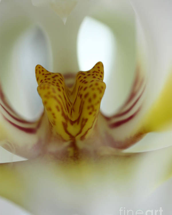 Tiger Orchid Poster featuring the photograph Tiger Orchid by David Bearden